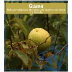 リキッドGuava(グアバ)の商品写真1枚目