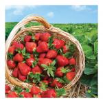 リキッドStrawberry Fields(ストロベリーフィールド)の商品写真1枚目